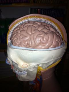 Gehirn Mandelkern